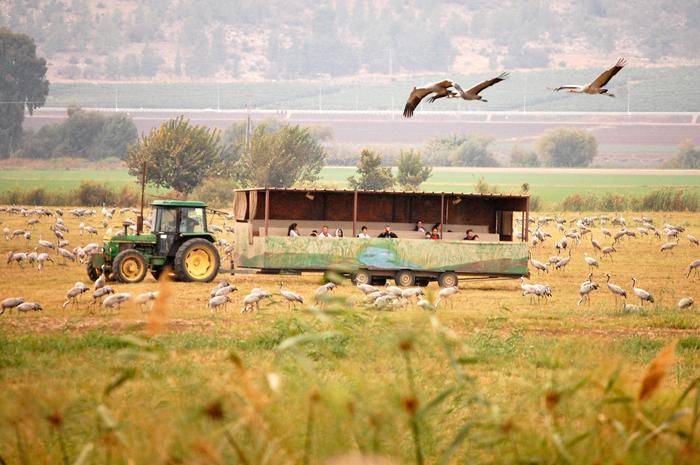 Hula_Valley,_cranes_and_visitors